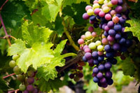 Resveratrol_Grapes